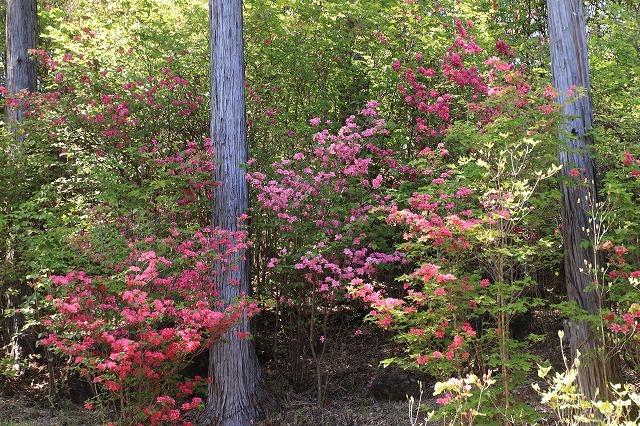 城跡に巨木の山桜(撮影:4月5日)_e0321325_16462437.jpg