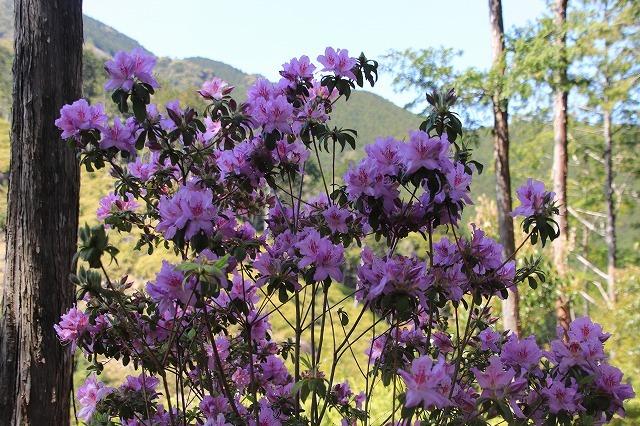 城跡に巨木の山桜(撮影:4月5日)_e0321325_16463868.jpg