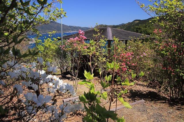城跡に巨木の山桜(撮影:4月5日)_e0321325_16465456.jpg