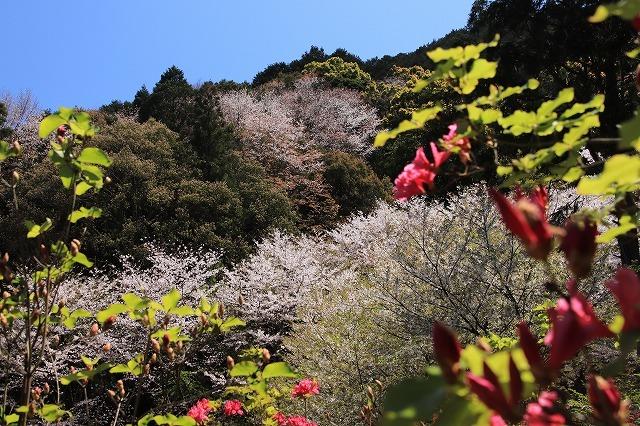 城跡に巨木の山桜(撮影:4月5日)_e0321325_16470831.jpg