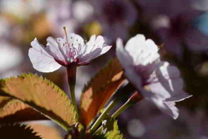 チシマザクラの画像 p1_32