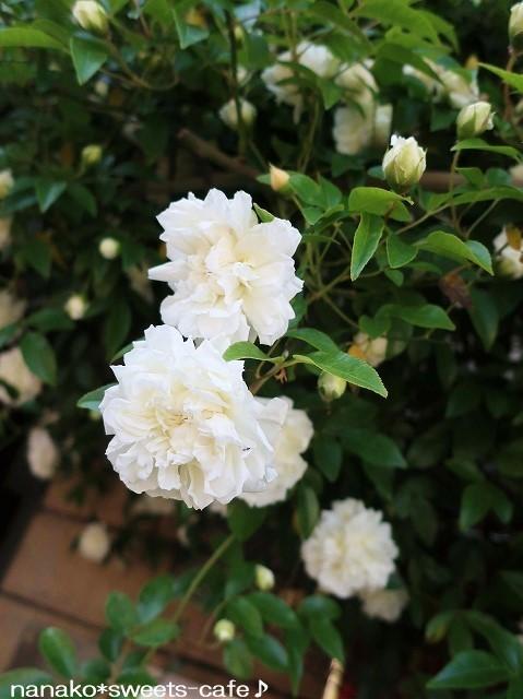 お散歩*白いモッコウバラ_d0147030_21491753.jpg