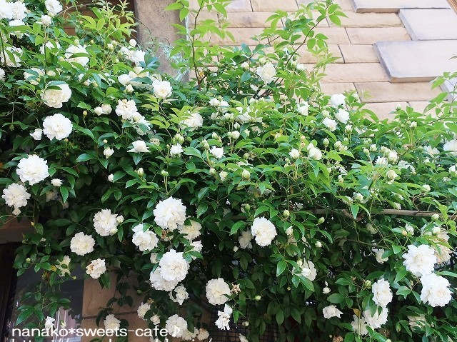 お散歩*白いモッコウバラ_d0147030_21494232.jpg