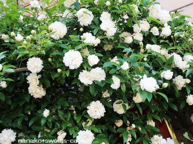 お散歩*白いモッコウバラ_d0147030_21494841.jpg