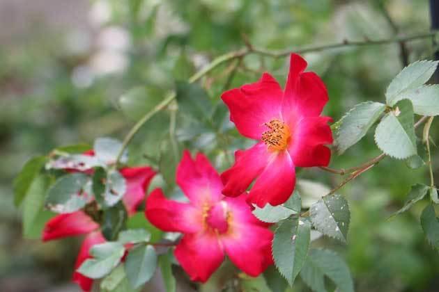 薔薇 (カクテール)_c0080352_16113770.jpg