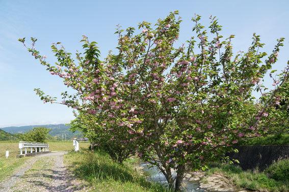 静かに咲いている八重桜_b0145257_20074708.jpg