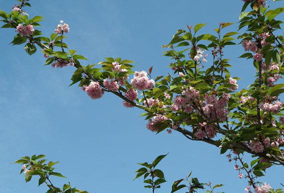 静かに咲いている八重桜_b0145257_20075121.jpg