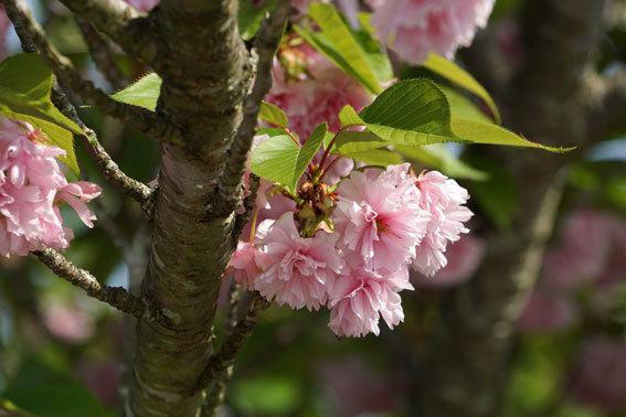 静かに咲いている八重桜_b0145257_20075484.jpg