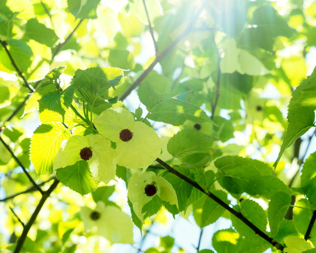 ハンカチノキと真新しい若葉たち_c0305565_10030020.jpg