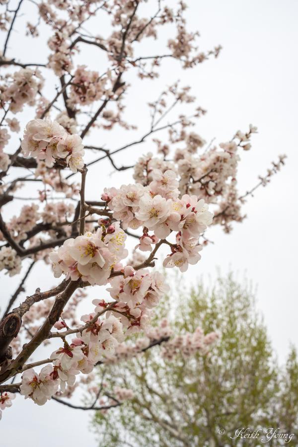 plum blossom_e0338273_23293953.jpg