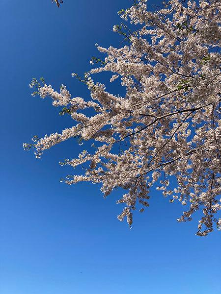 今年の桜_f0101174_09013436.jpg