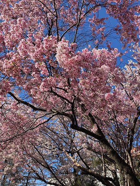 今年の桜_f0101174_09014383.jpg