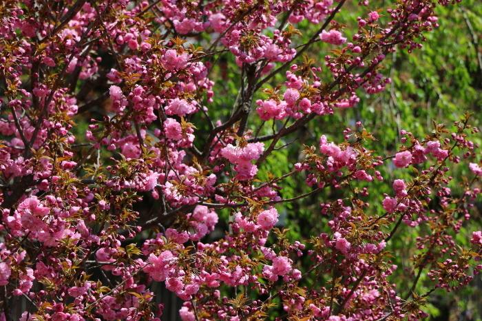 2019GW  飛騨高山の桜_c0338583_20054529.jpg