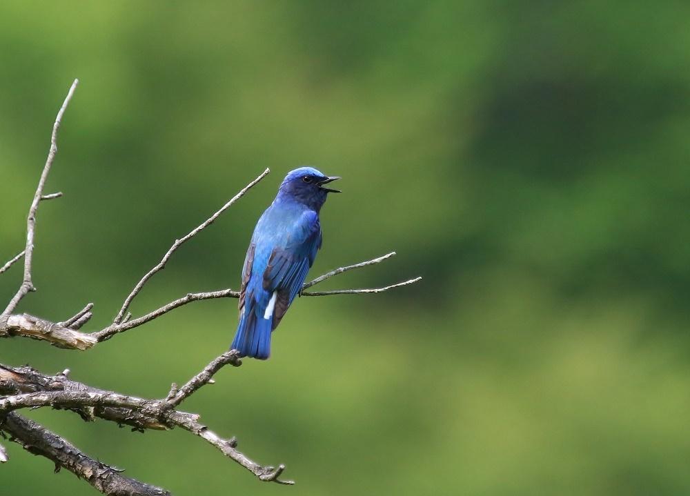 夏鳥の代表格、、_f0305401_15011541.jpg