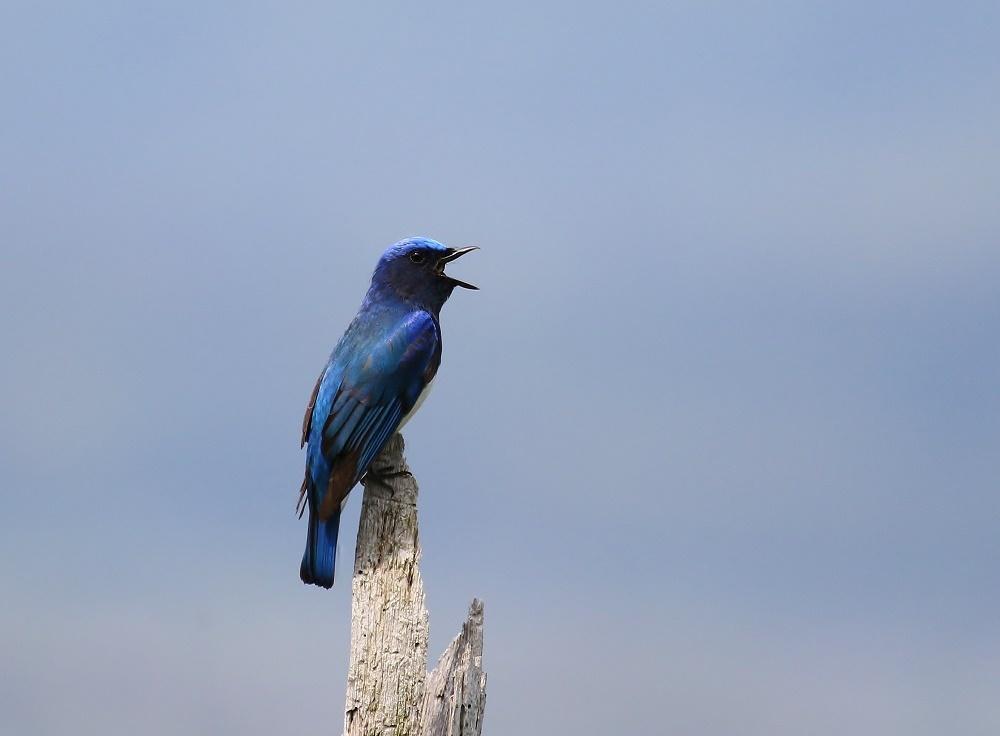夏鳥の代表格、、_f0305401_15014844.jpg