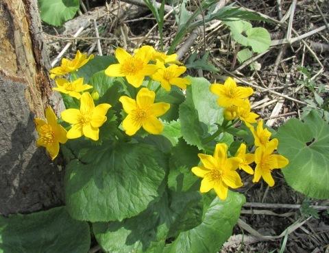エゾノリュウキンカ咲いています。多分_d0072917_09593360.jpg