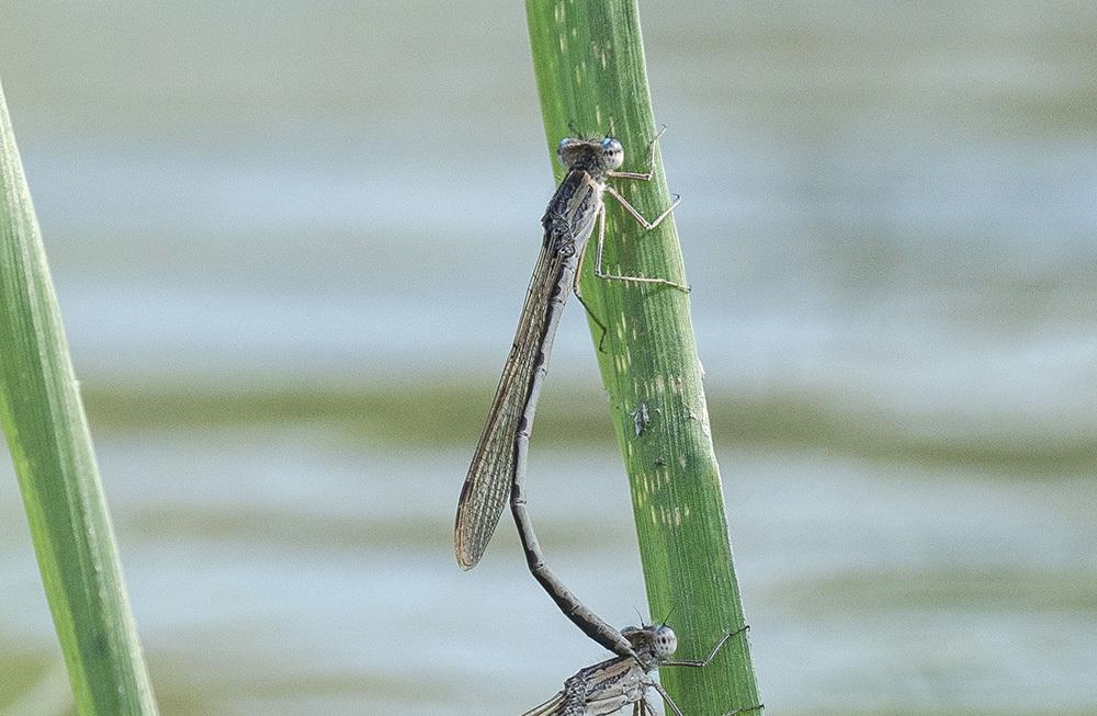 越冬2種の今 オツネントンボとホソミオツネントンボ_f0324026_00401603.jpg