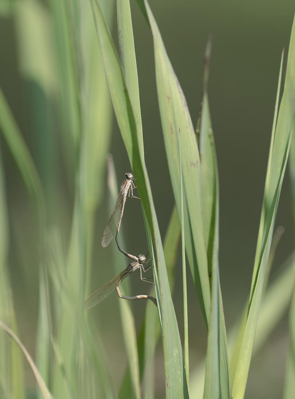 越冬2種の今 オツネントンボとホソミオツネントンボ_f0324026_00401726.jpg