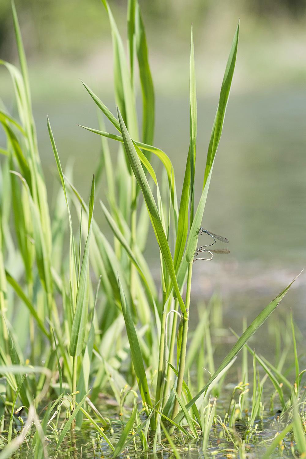 越冬2種の今 オツネントンボとホソミオツネントンボ_f0324026_00471621.jpg