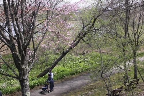 釧路の桜と湿原の中で 5月7日_f0113639_09084931.jpg