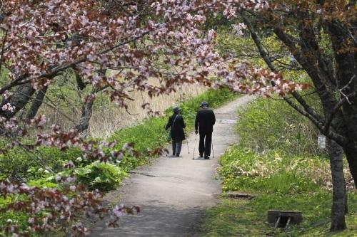 釧路の桜と湿原の中で 5月7日_f0113639_10280160.jpg