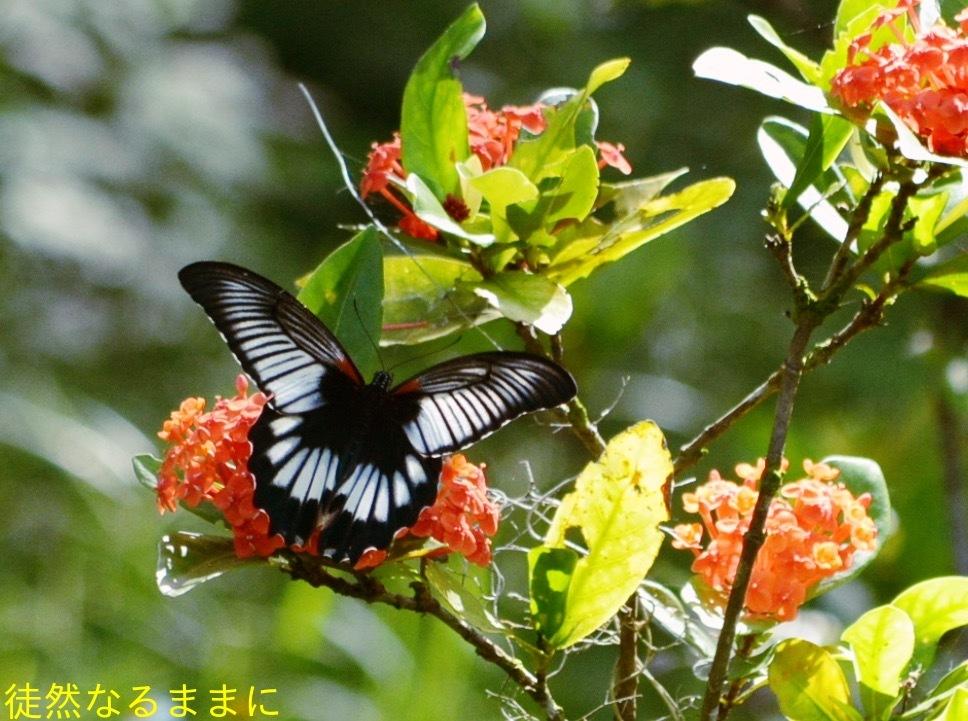 地域差におけるナガサキアゲハ♀の白斑の大きさの違い_d0285540_07320382.jpg