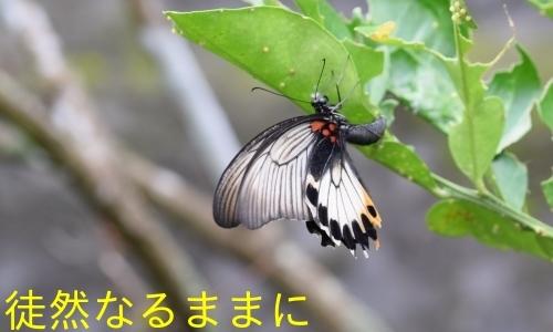 地域差におけるナガサキアゲハ♀の白斑の大きさの違い_d0285540_07320903.jpg