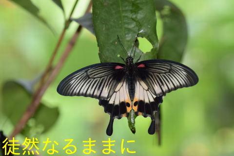 地域差におけるナガサキアゲハ♀の白斑の大きさの違い_d0285540_07322212.jpg
