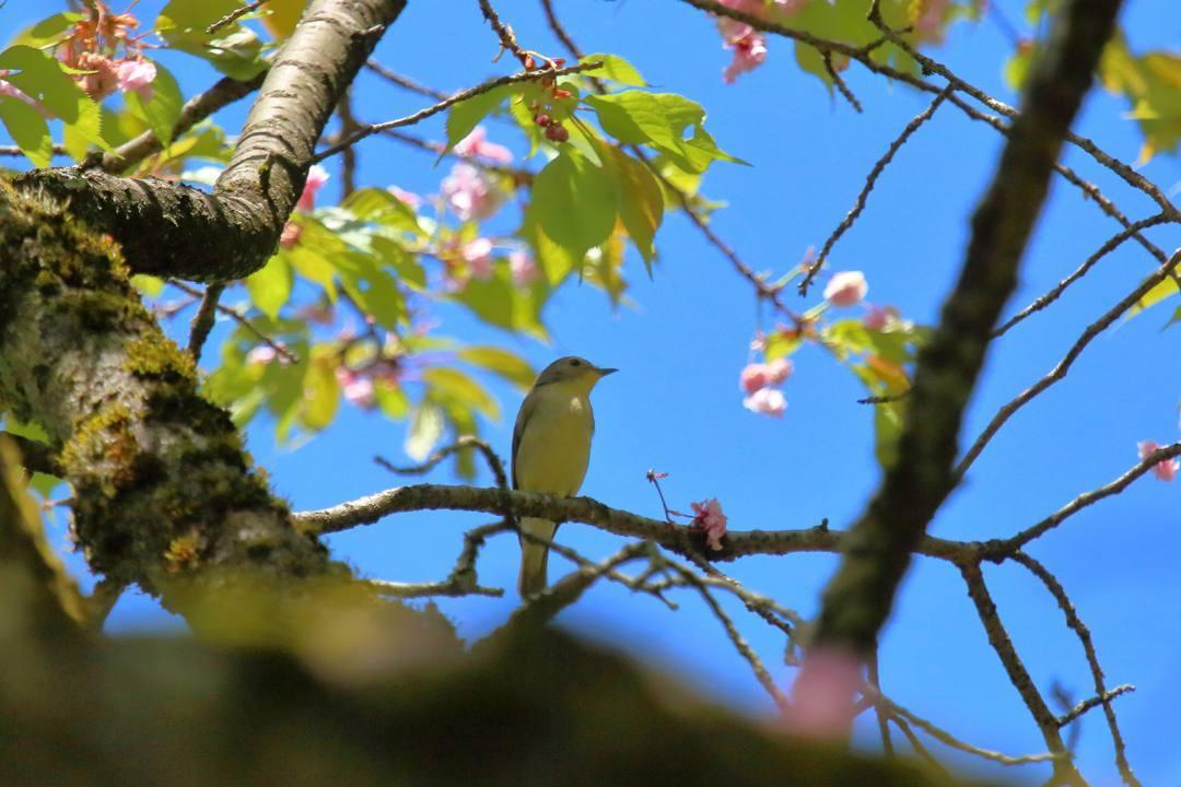 春の妖精ウスバシロチョウ_e0403850_19580328.jpg