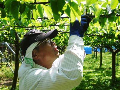 熊本梨 本藤果樹園 令和2年も7月下旬からの出荷に向け、匠の摘果作業がスタートしてます!_a0254656_18120526.jpg