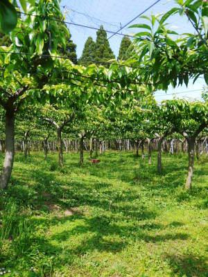 熊本梨 本藤果樹園 令和2年も7月下旬からの出荷に向け、匠の摘果作業がスタートしてます!_a0254656_18132568.jpg