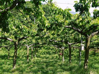 熊本梨 本藤果樹園 令和2年も7月下旬からの出荷に向け、匠の摘果作業がスタートしてます!_a0254656_18155571.jpg