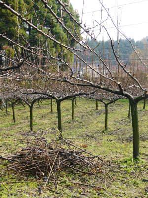 熊本梨 本藤果樹園 令和2年も7月下旬からの出荷に向け、匠の摘果作業がスタートしてます!_a0254656_18193962.jpg