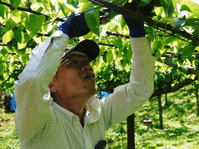 熊本梨 本藤果樹園 令和2年も7月下旬からの出荷に向け、匠の摘果作業がスタートしてます!_a0254656_18254984.jpg