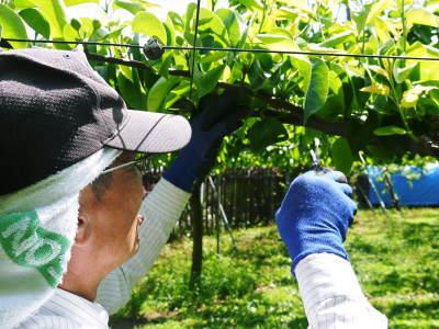 熊本梨 本藤果樹園 令和2年も7月下旬からの出荷に向け、匠の摘果作業がスタートしてます!_a0254656_18295132.jpg