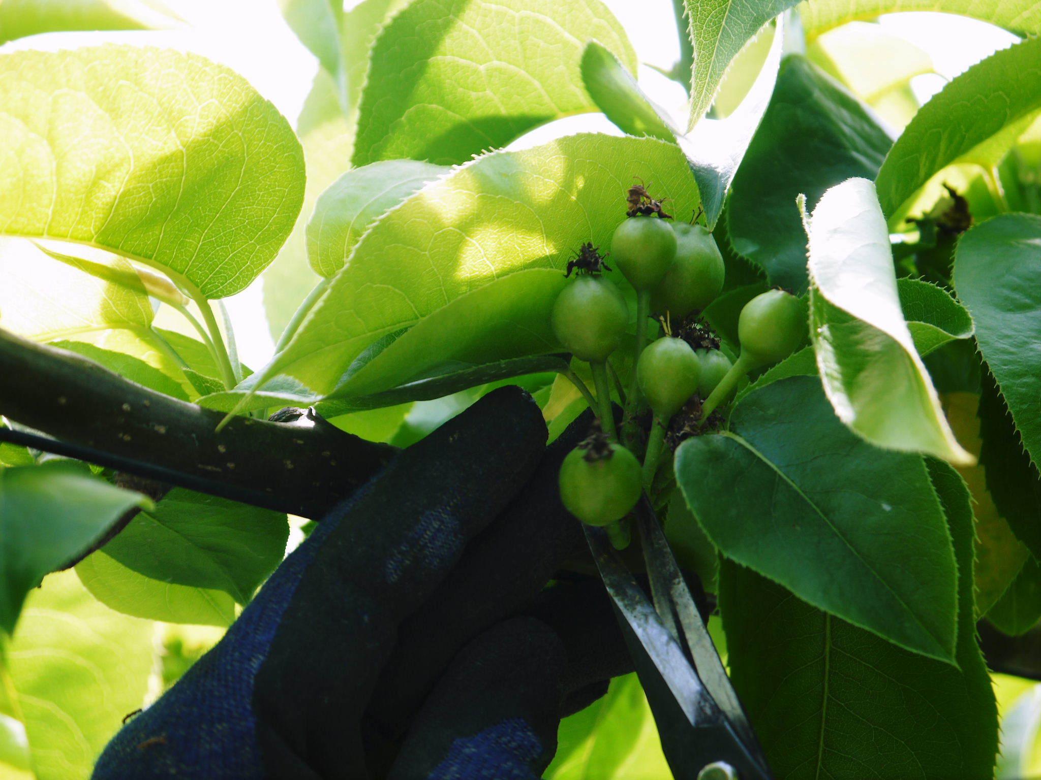 熊本梨 本藤果樹園 令和2年も7月下旬からの出荷に向け、匠の摘果作業がスタートしてます!_a0254656_18332584.jpg