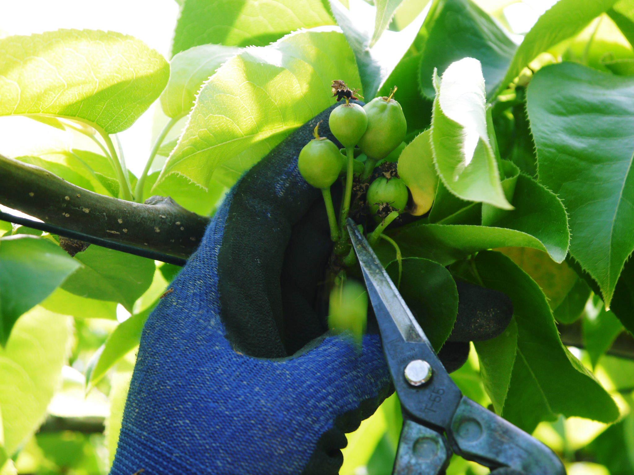 熊本梨 本藤果樹園 令和2年も7月下旬からの出荷に向け、匠の摘果作業がスタートしてます!_a0254656_18354122.jpg