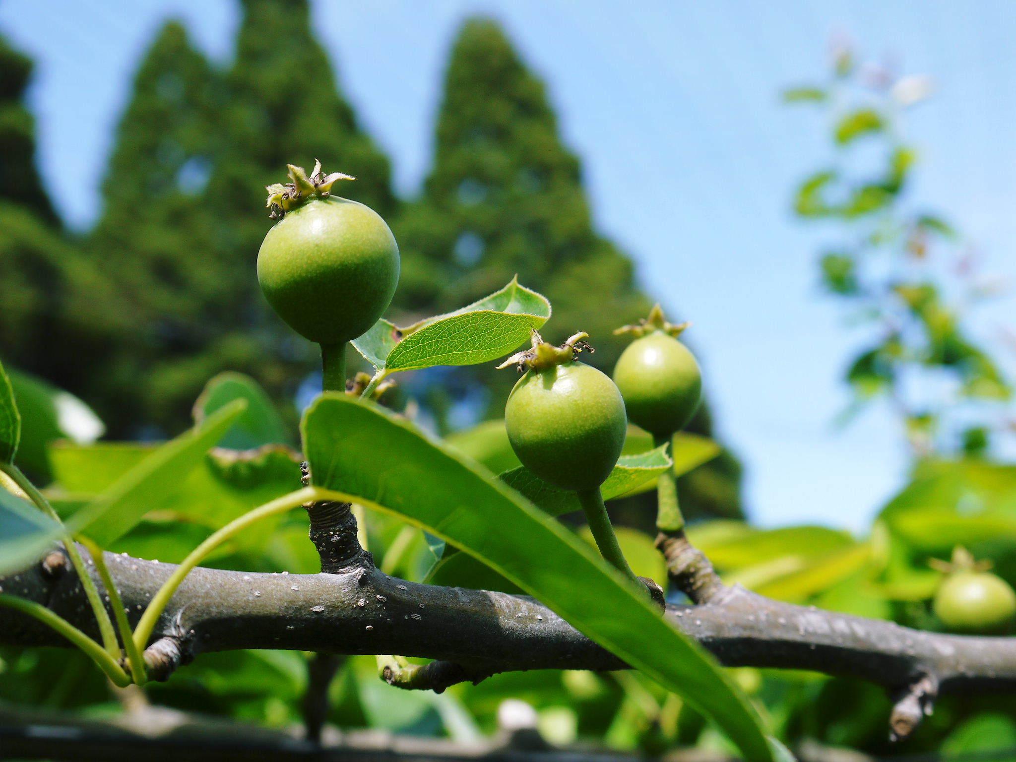 熊本梨 本藤果樹園 令和2年も7月下旬からの出荷に向け、匠の摘果作業がスタートしてます!_a0254656_18375544.jpg