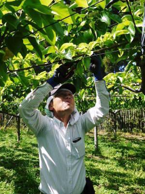 熊本梨 本藤果樹園 令和2年も7月下旬からの出荷に向け、匠の摘果作業がスタートしてます!_a0254656_18453825.jpg