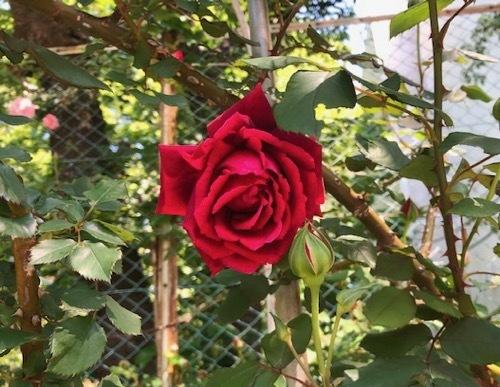 2020年5月6日・駒場バラの小径 開花状況_a0094959_15194632.jpg