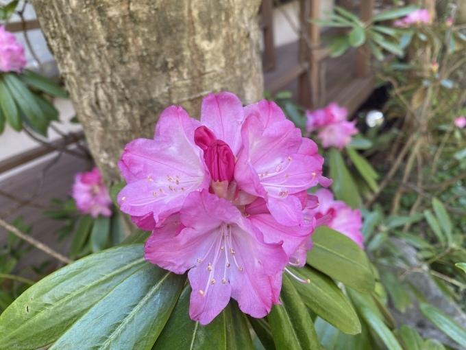 シャクナゲも咲いて_f0091207_20594071.jpeg