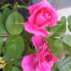 バラが、咲いたよ~!_c0228952_14321289.jpg