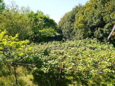 水源キウイ 2020年年も元気に開花しました!今年も完全無農薬・無化学肥料で育てます!!_a0254656_20043555.jpg