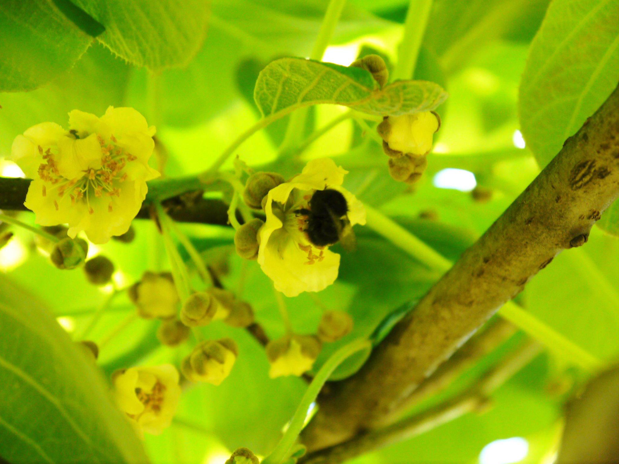 水源キウイ 2020年年も元気に開花しました!今年も完全無農薬・無化学肥料で育てます!!_a0254656_20095143.jpg