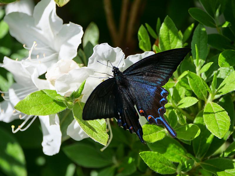 黒系アゲハ_f0199866_18413177.jpg