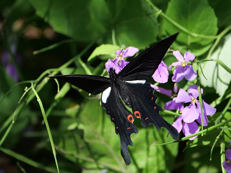黒系アゲハ_f0199866_19255297.jpg