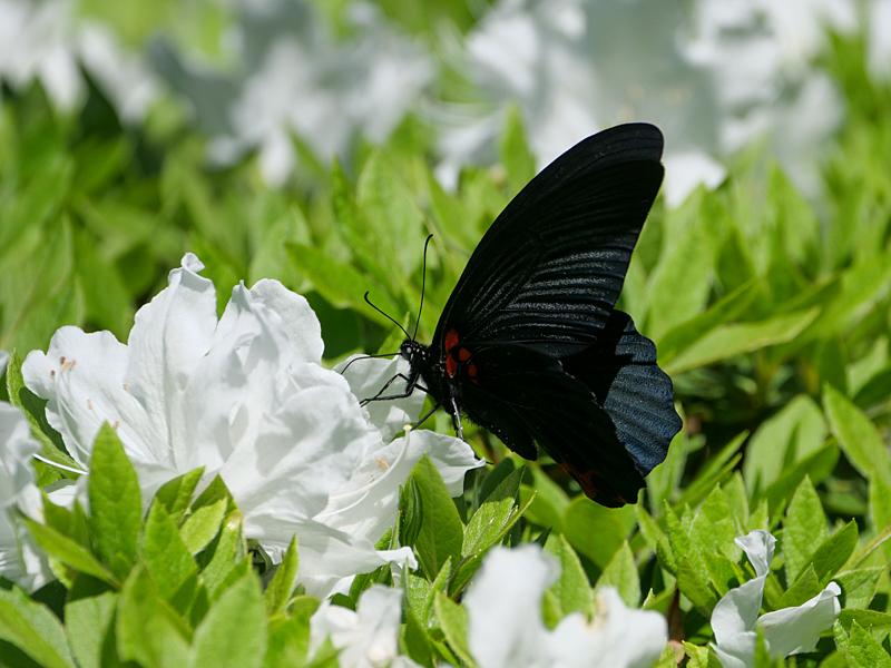 黒系アゲハ_f0199866_19403633.jpg