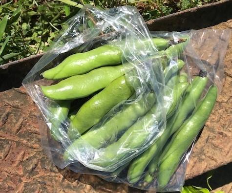 ソラマメ収穫、ベーコン、新玉葱でクリームパスタに5・7_c0014967_16270473.jpg