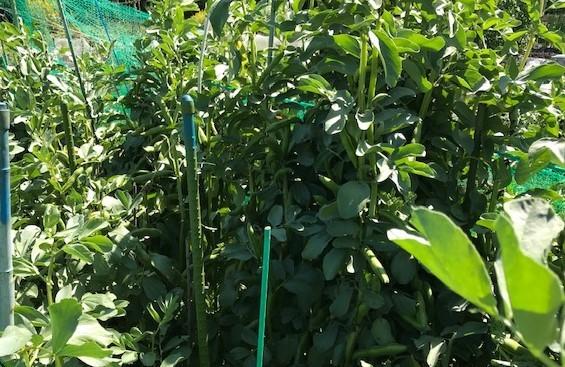 ソラマメ収穫、ベーコン、新玉葱でクリームパスタに5・7_c0014967_16272743.jpg