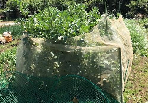 ソラマメ収穫、ベーコン、新玉葱でクリームパスタに5・7_c0014967_16295649.jpg
